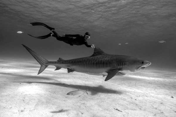 Hanli Prinsloo swimming with a Tiger Shark
